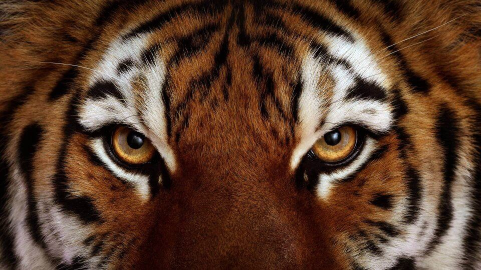 Ojos de un tigre vistos desde cerca